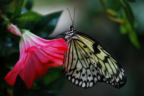 papilio machaon butterfly animal