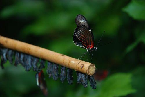 papilio rumanzovia butterfly animal