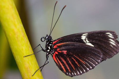 papilio rumanzovia butterfly red