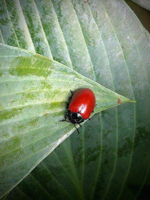 pappelblattkaefer  a large poplar leaf beetle  insect