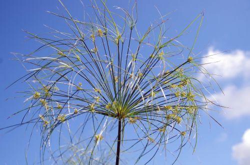 papyrus flower plant