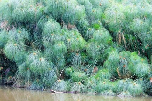 Papyrus Water Reed