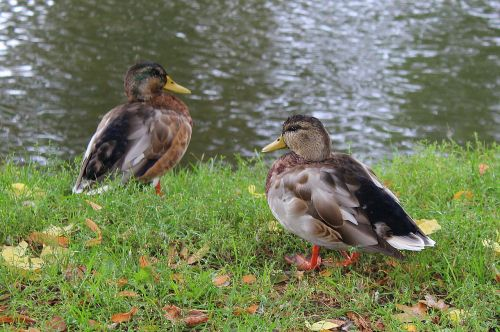 para wild ducks mallard duck