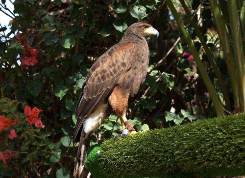 parabuteo unicinctus bay-winged hawk dusky hawk