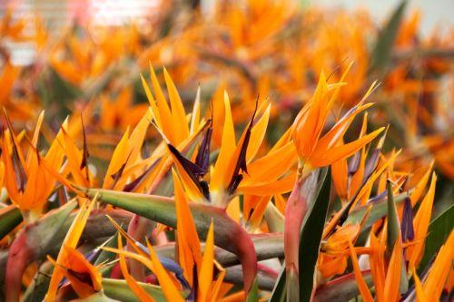 paradise flower king caudata strelizie