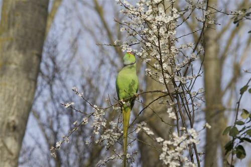 parakeet collar nature