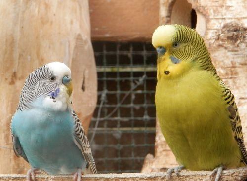 parakeet,papūgos,gamta,gyvūnai,paukščiai,lizdas,paragetas gofruotas,spalvos,geltona,žalias,mėlynas,balta,pora,pora paukščių,pakalikas,porą parapetų,poros su gofruotu parakeets,mediena,Paukščių lizdas,parakeet lizdas