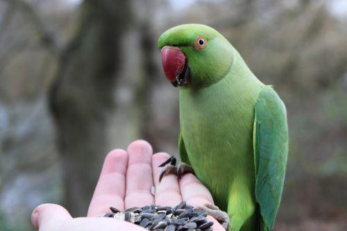 parakeet bird nature