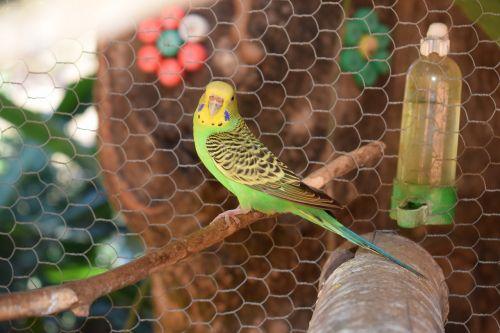 parakeet bird colorful
