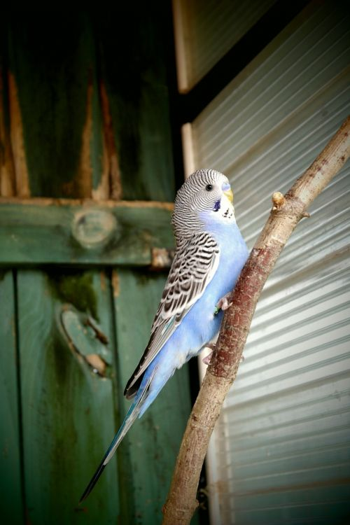 parakeet blue white