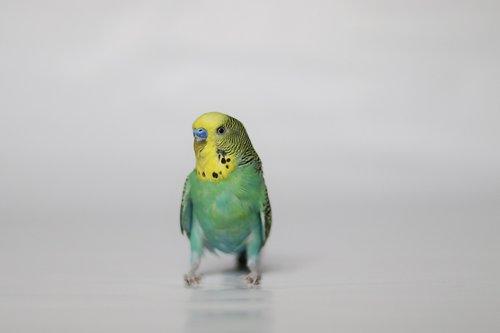 parakeet  pet  bird