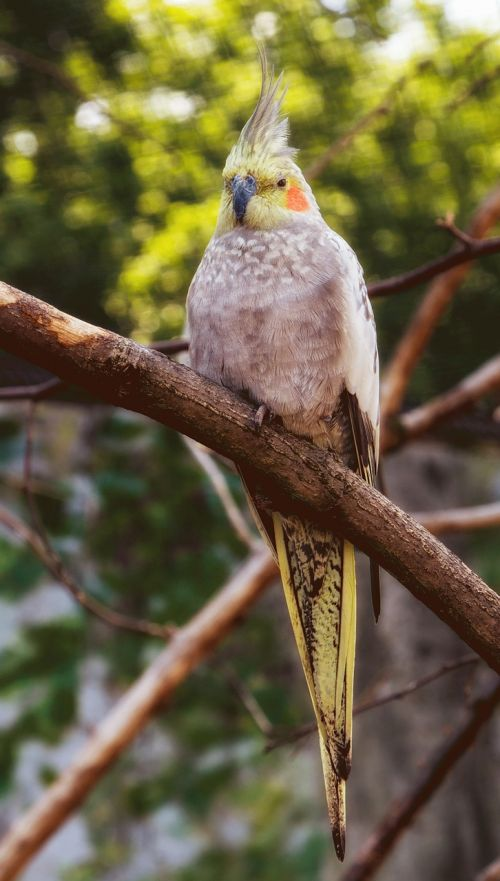 parakeet bird color