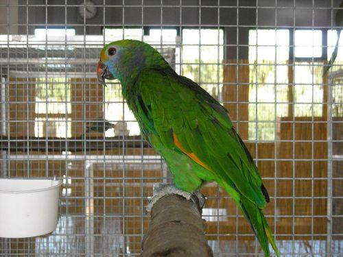 parakeet small parrot birds