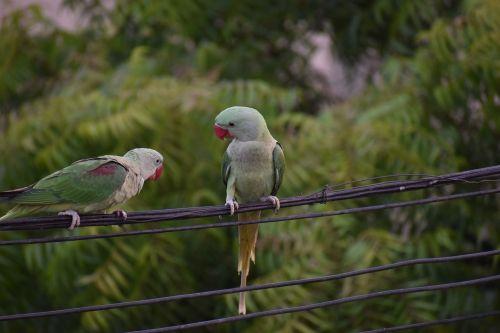 parakeets parrots pair