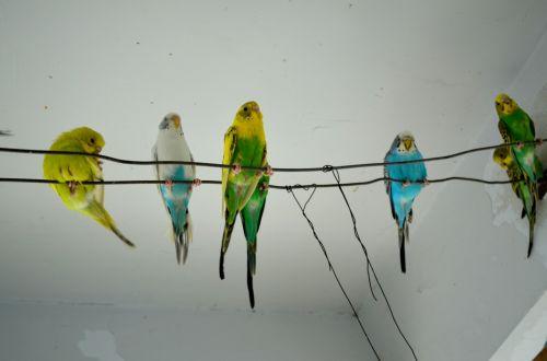 Parakeets Sitting