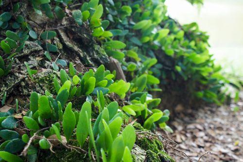 parasite plant woods na