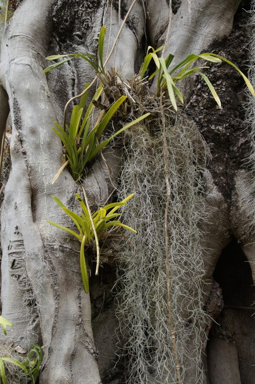 parasitic plants old man beard louisiana moss