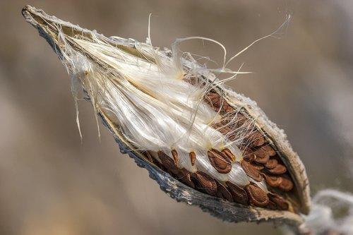 paratroopers  pillowy softness  milkweed