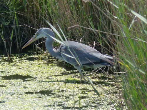 parc natural de delta de l'ebre heron ardea cinerea