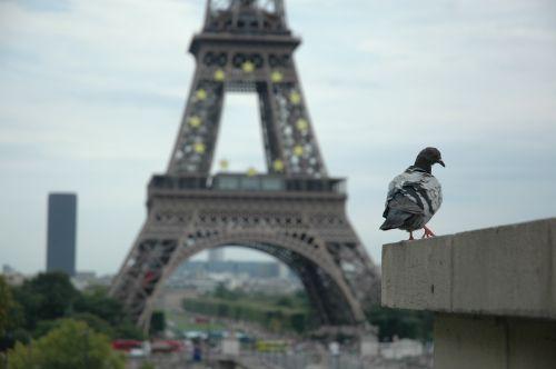Paris Pigeon