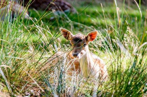 park  deer  wild