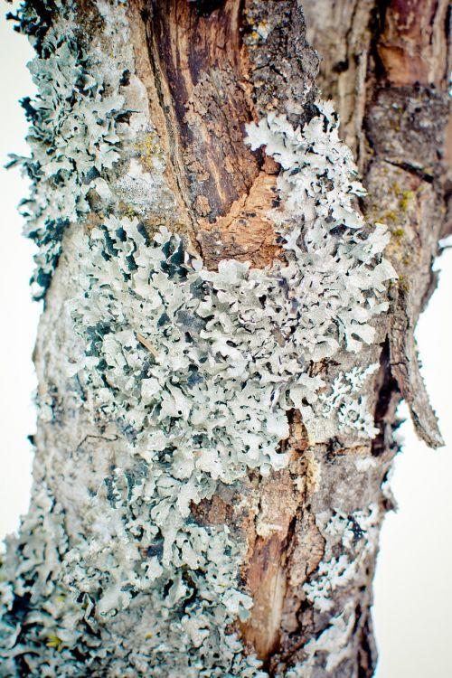 parmelia sulcata lichen leaf braid