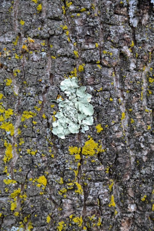 parmelia sulcata lichen sulcatflechte
