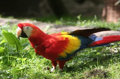 parrot red bird