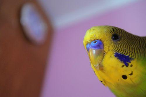 parrot peeps bird