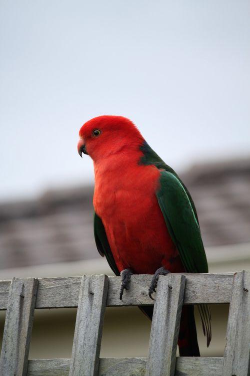 parrot bird king parrot