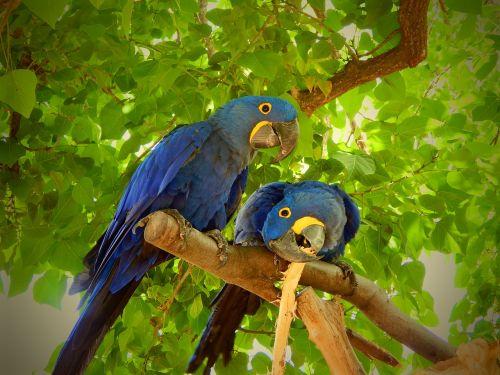 parrot blue bird