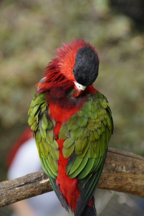 parrot,plumage,sleep,doze,green,red,bird,colorful,zoo,color,animal,animal world,animal portrait,clean,bill,head
