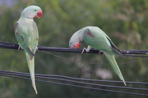 parrot parakeet indian ringneck