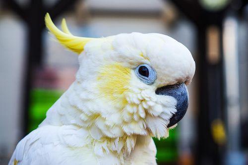 parrot cockatoo bird