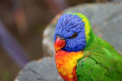 parrot lorikeet trichoglossus rainbow