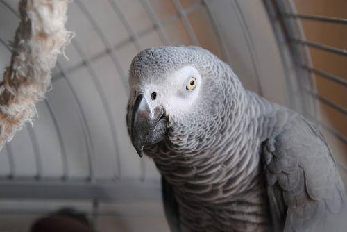parrot grey animal