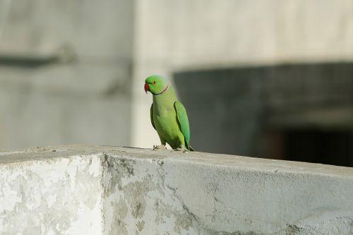 parrot green red random