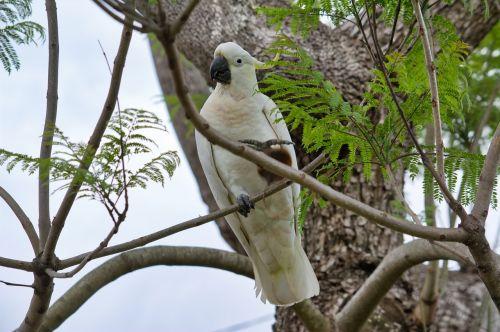 parrot cockatoo sulfur-crest
