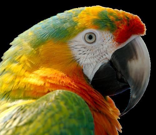 parrot bird feather