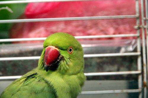 parrot  psittacula krameri  alexandrine parrot