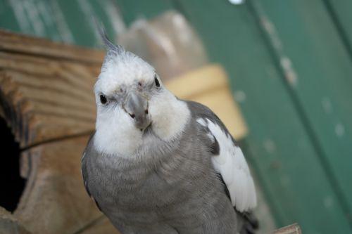 parrot home pet
