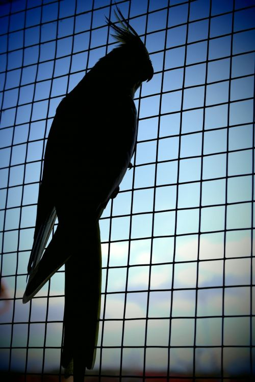 parrot shadow captivity
