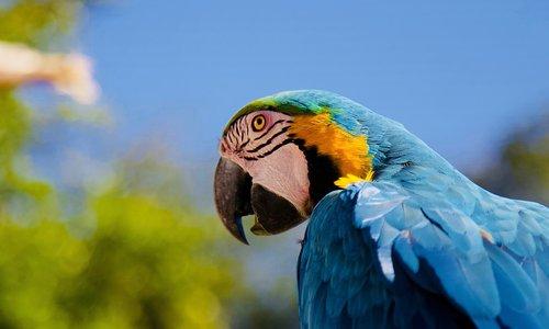 parrot  ara  blue macaw