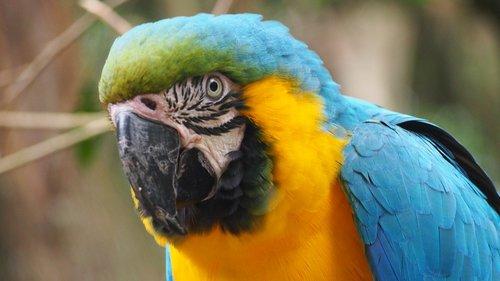 parrot  ara  plumage