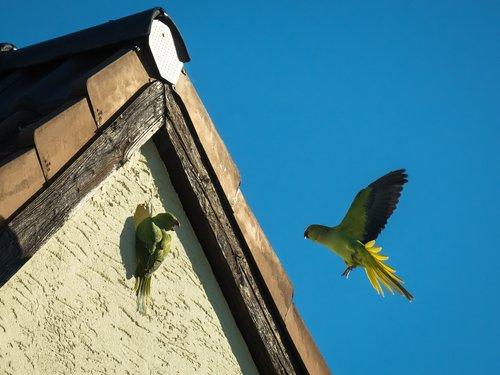 parrot  nest building  communication