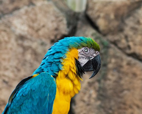 parrot  macaw  yellow and blue macaw