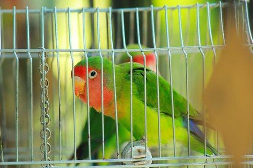 parrot  bird  lovebird