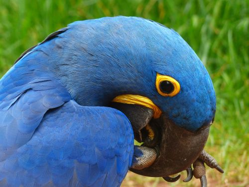 parrot blauara hyazinth-ara