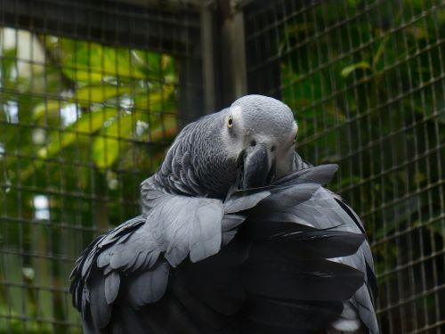 parrot bird grey