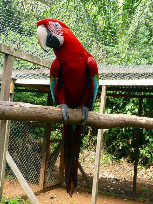 parrot red green